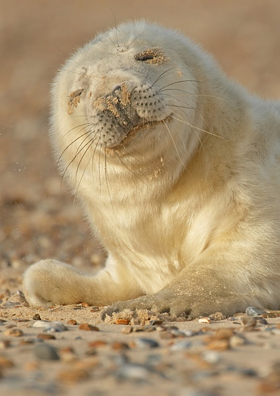 19 - Grey Seal