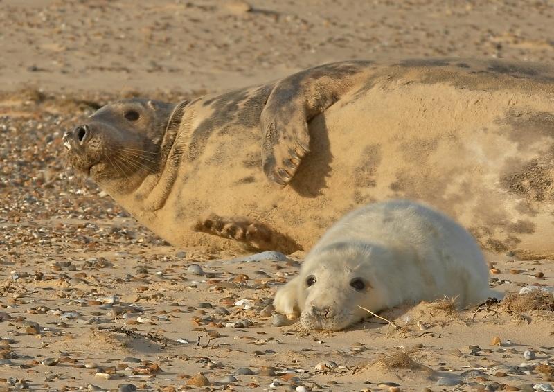 39 - Grey Seal