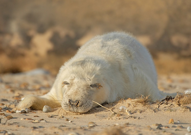 40 - Grey Seal