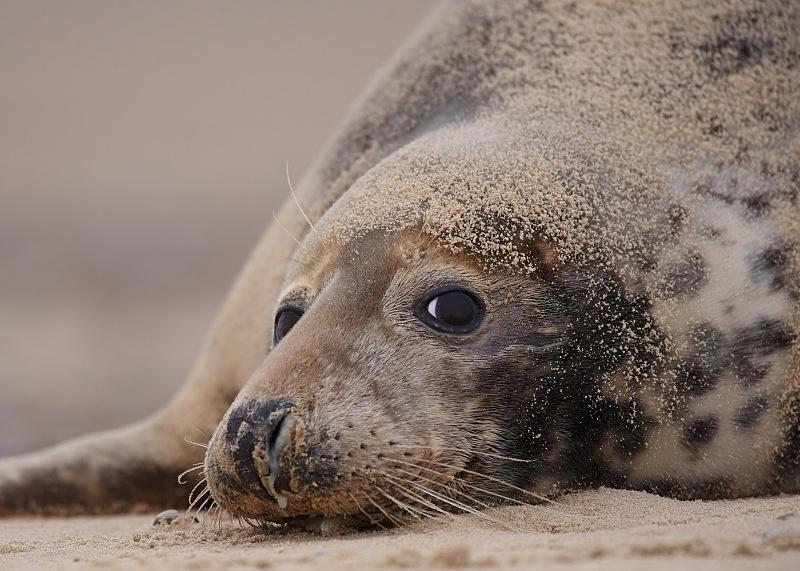10 - Grey Seal