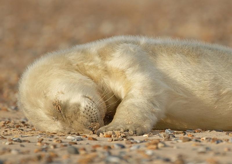 28 - Grey Seal