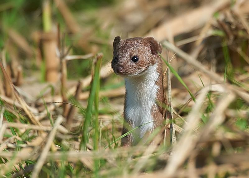 5 - Weasel