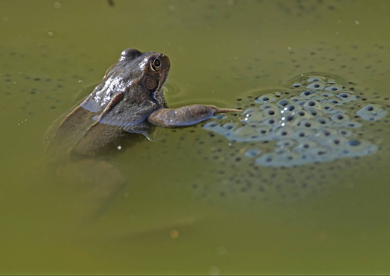 10 - Common Frog