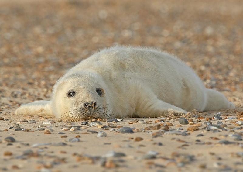34 - Grey Seal