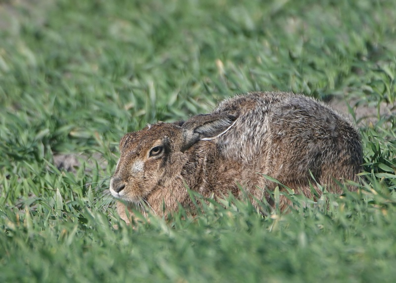 7 - Brown Hare