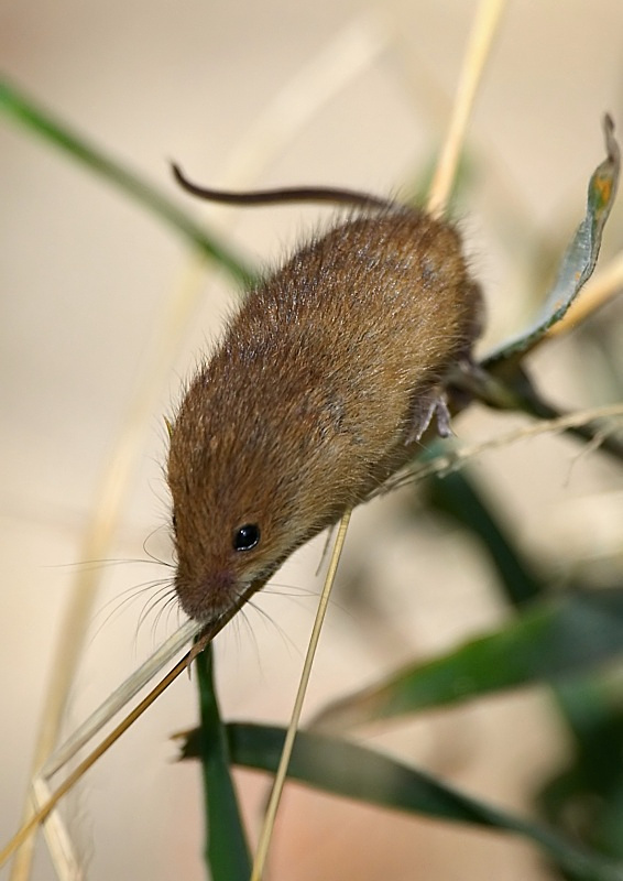 11 - Harvest Mouse