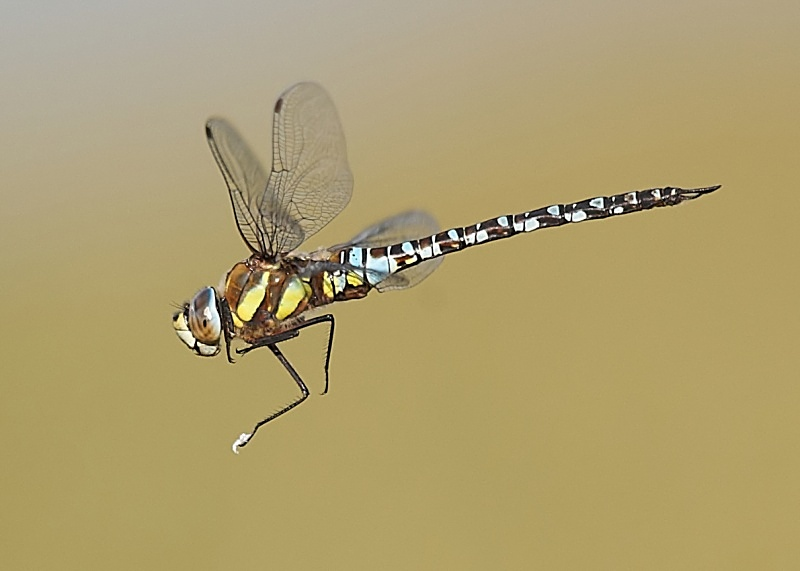 3 - Migrant Hawker Dragonfly