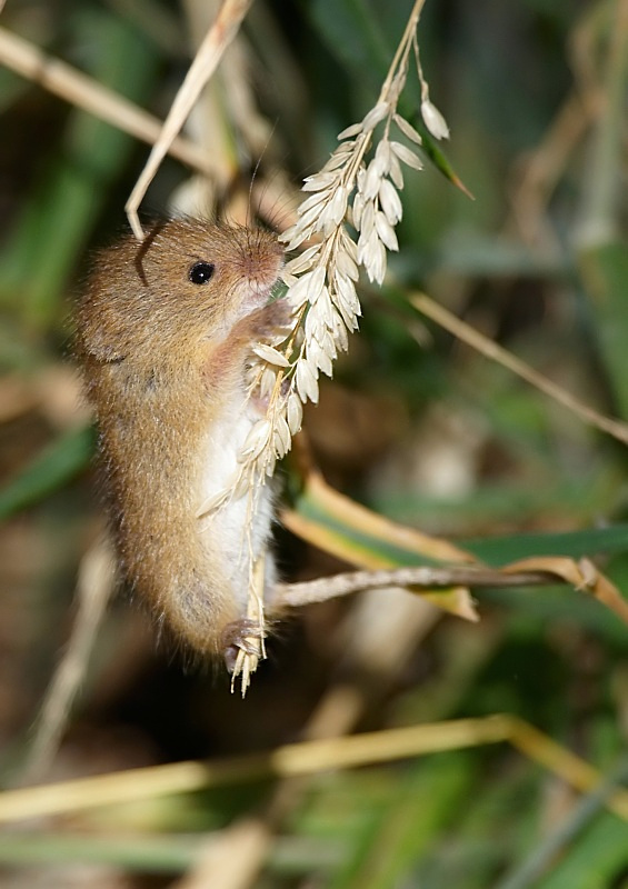 3 - Harvest Mouse