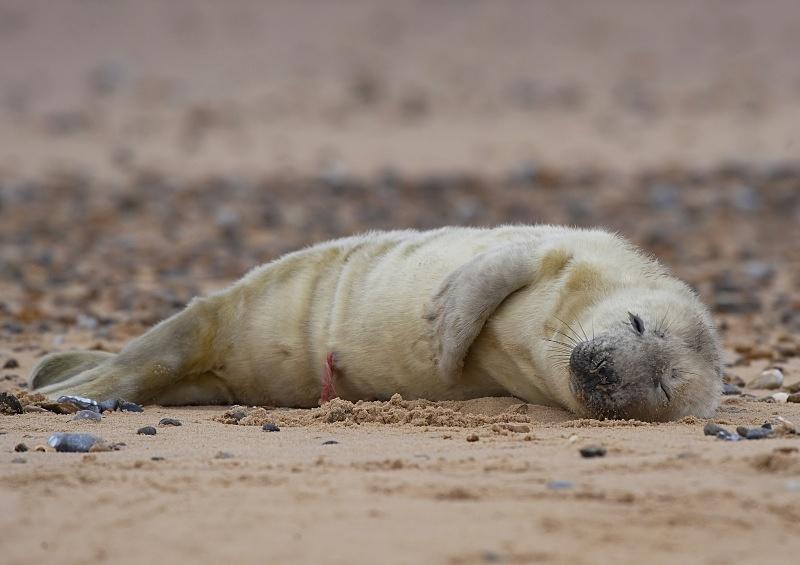 12 - Grey Seal