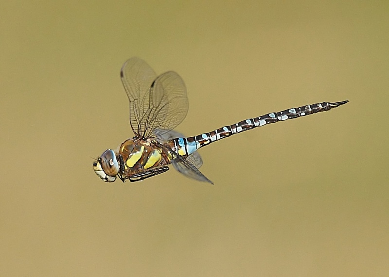 11 - Migrant Hawker Dragonfly