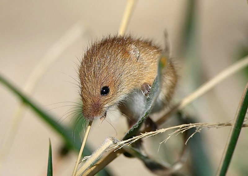 1 - Harvest Mouse