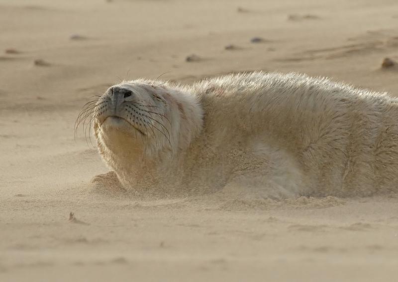 23 - Grey Seal