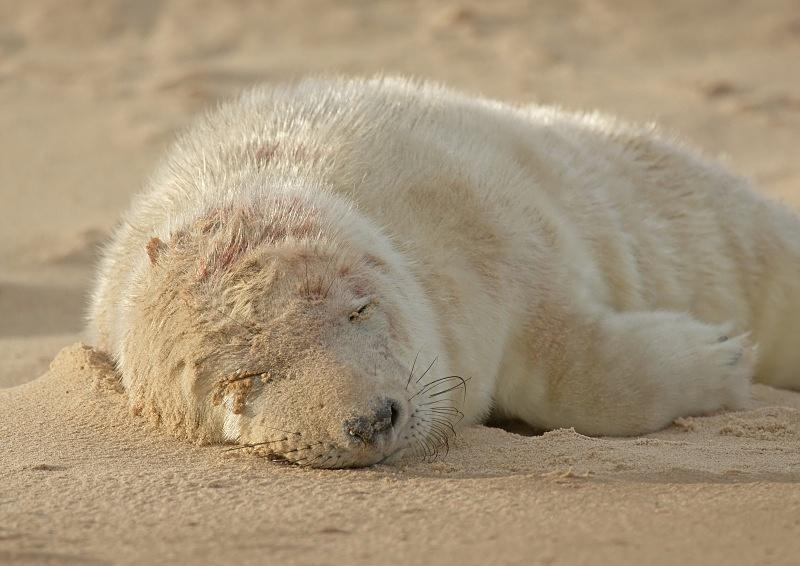 25 - Grey Seal
