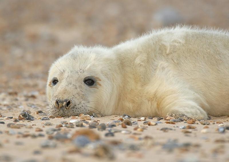 26 - Grey Seal