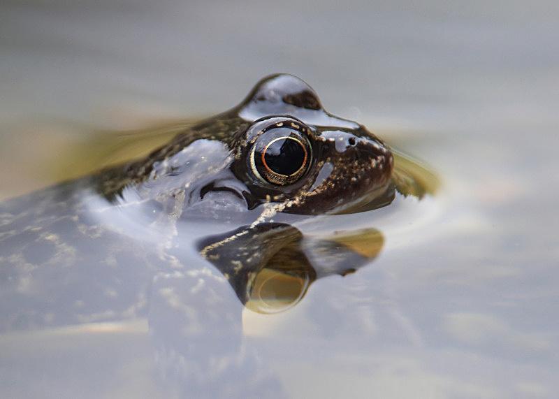 2 - Common Frog
