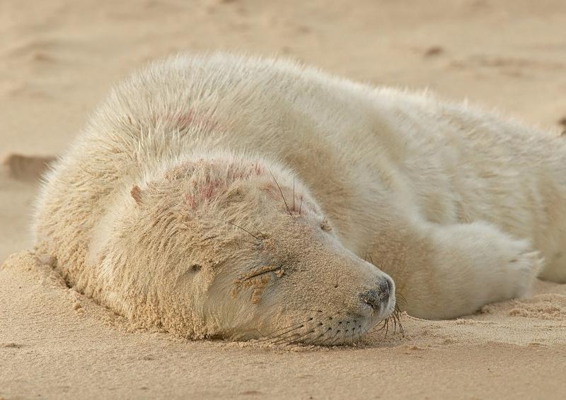 31 - Grey Seal