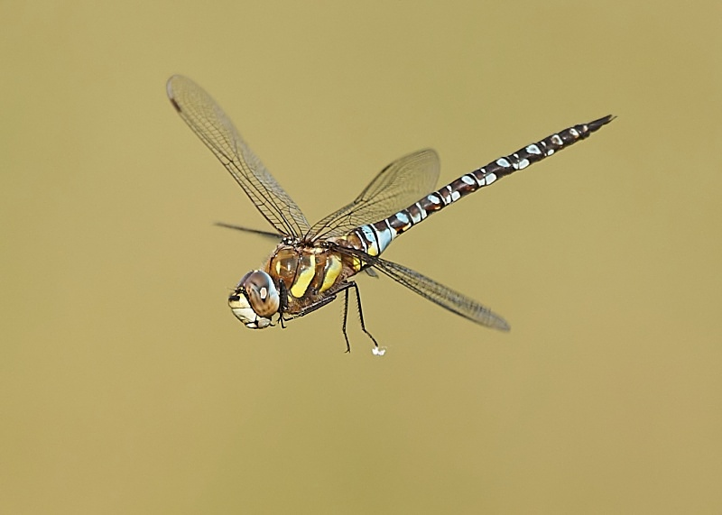 2 - Migrant Hawker Dragonfly