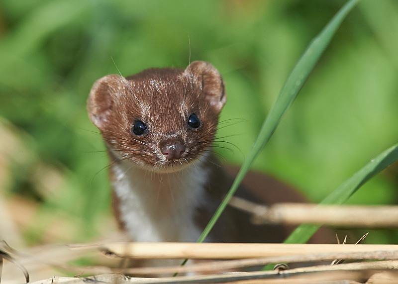 1 - Weasel
