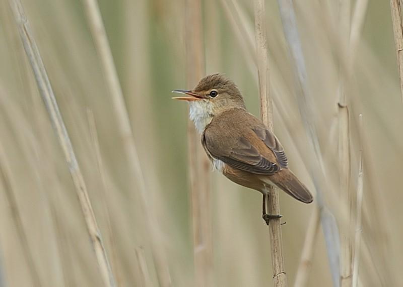 3 - Reed Warbler