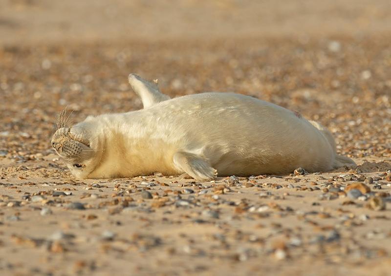 33 - Grey Seal