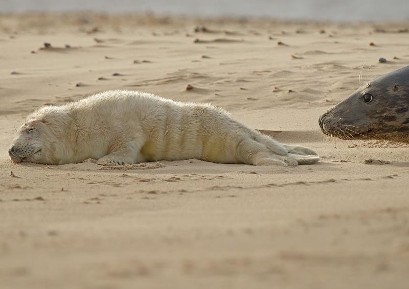 24 - Grey Seal