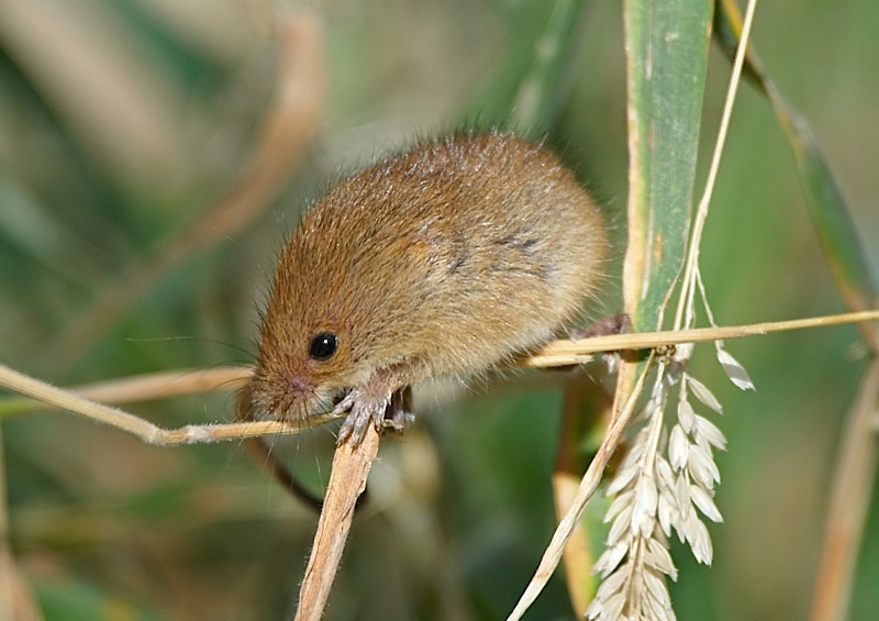 13 - Harvest Mouse