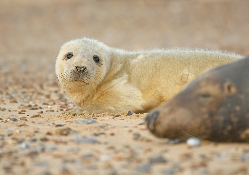 21 - Grey Seal