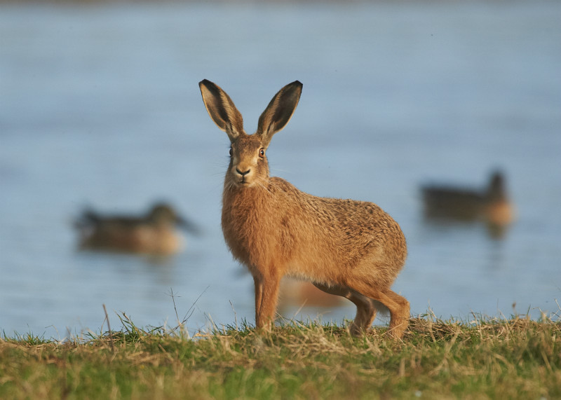 1 - Brown Hare