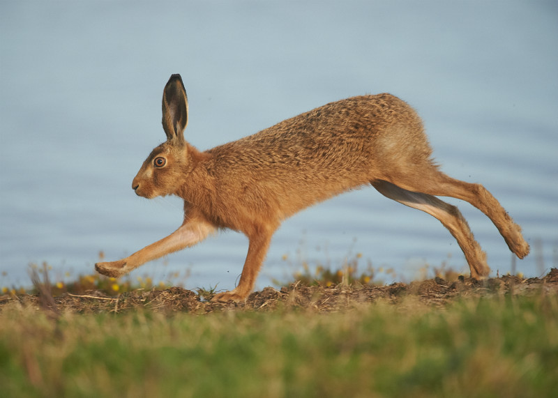 4 - Brown Hare