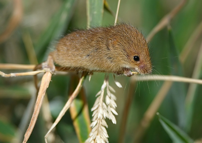 9 - Harvest Mouse