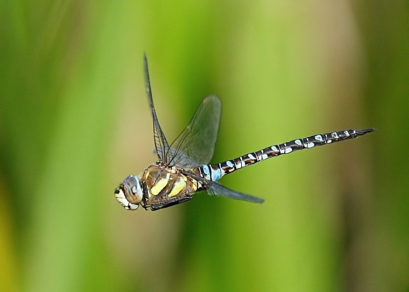 1 - Migrant Hawker Dragonfly