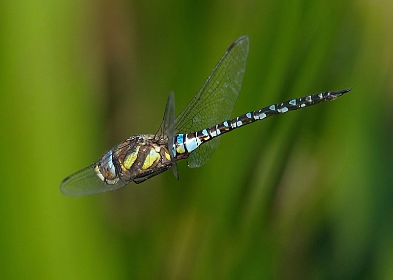 4 - Migrant Hawker Dragonfly