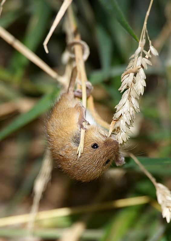 7 - Harvest Mouse