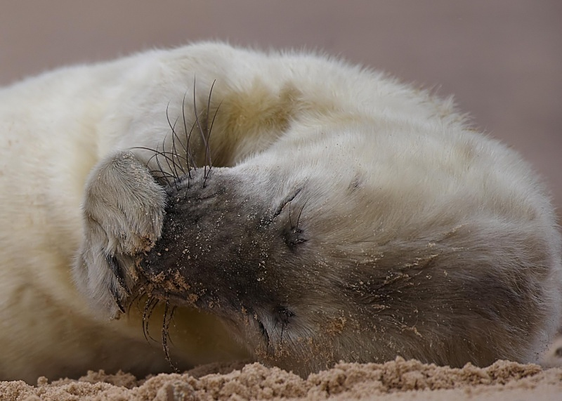 1 - Grey Seal