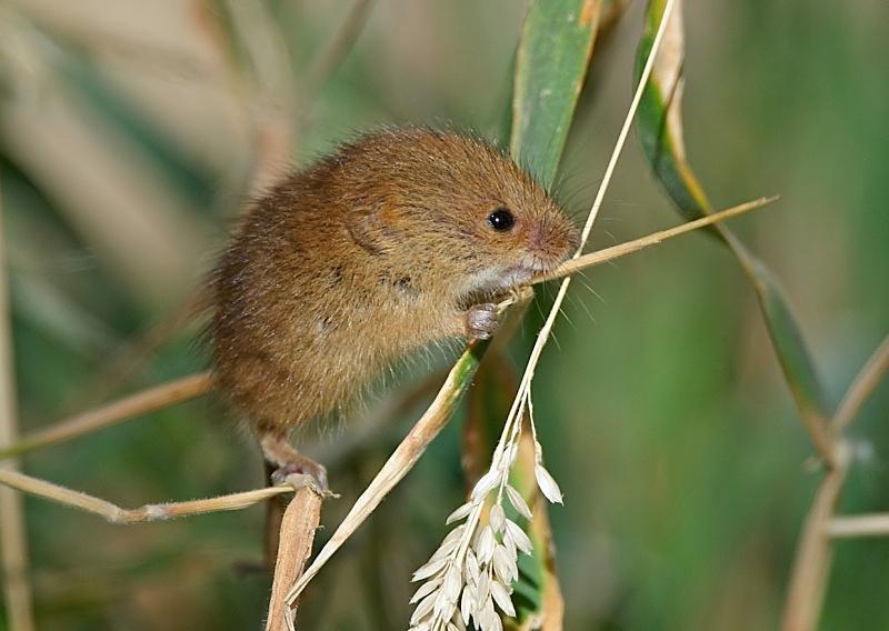 8 - Harvest Mouse