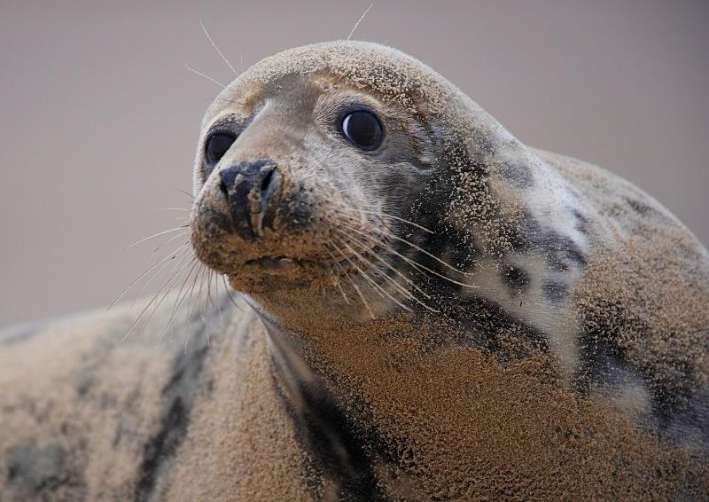 5 - Grey Seal
