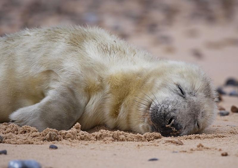 4 - Grey Seal