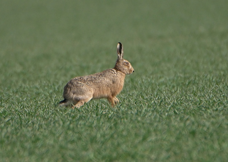 10 - Brown Hare
