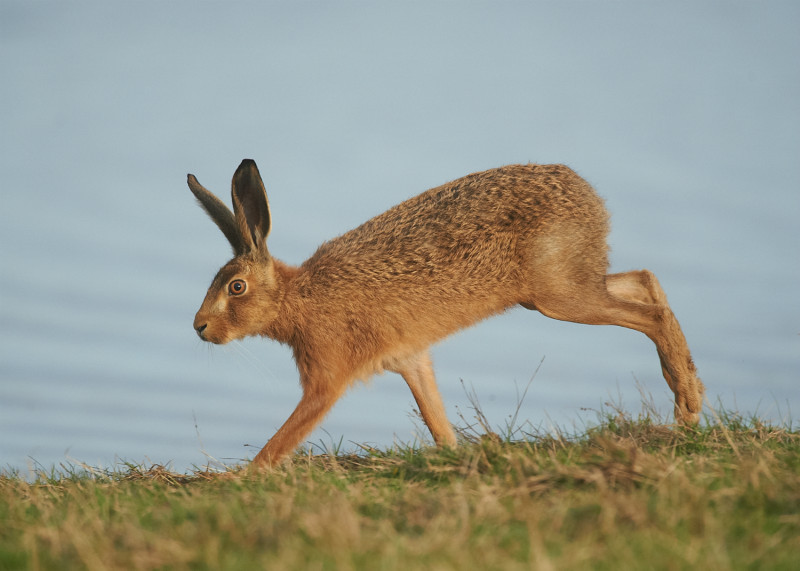 2 - Brown Hare
