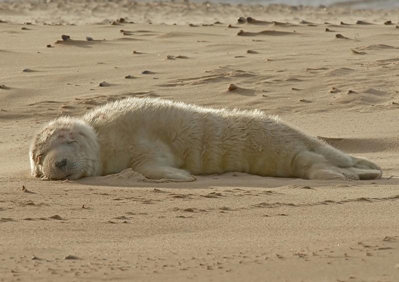 41 - Grey Seal