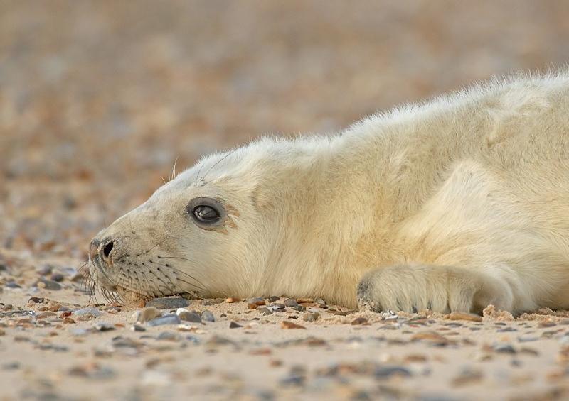 29 - Grey Seal