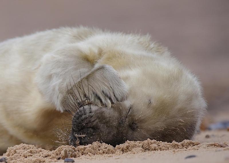 11 - Grey Seal