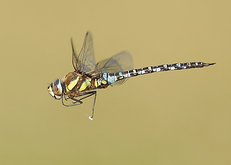 8 - Migrant Hawker Dragonfly
