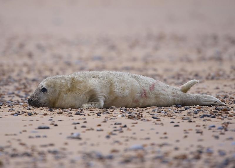 15 - Grey Seal