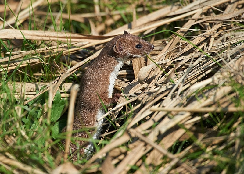 6 - Weasel