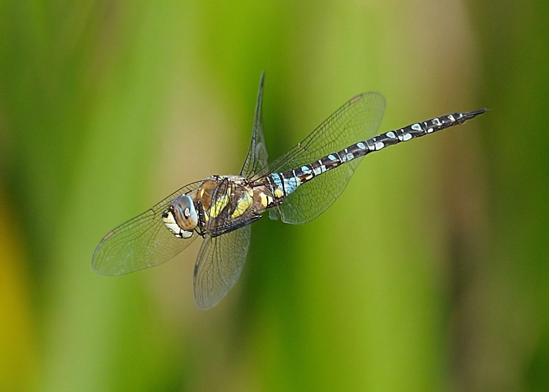 7 - Migrant Hawker Dragonfly