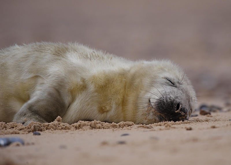 13 - Grey Seal