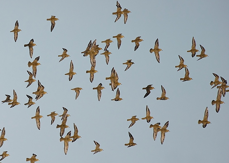 9 - Golden Plover