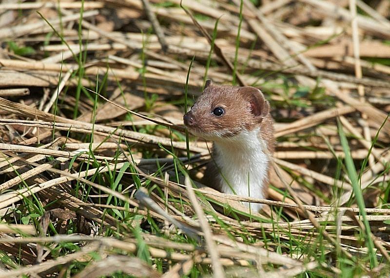 7 - Weasel