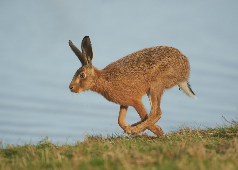 3 - Brown Hare
